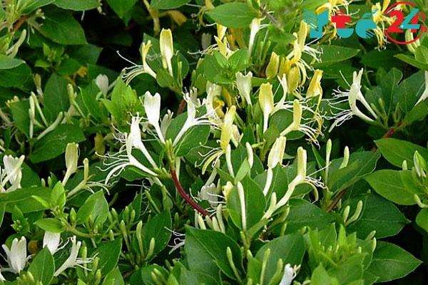 Kim ngân là một cây thuốc quý có trong An Thận Vương