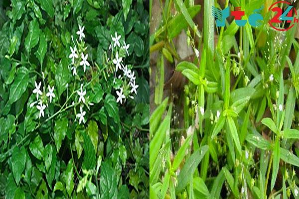 Bạch hoa xà và Bạch hoa xà thiệt thảo