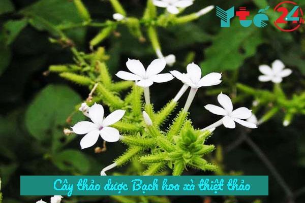 Cây bạch hoa xà thiệt thảo