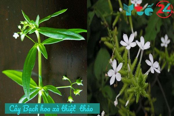 Hình ảnh cây Bạch hòa xà thiệt thảo
