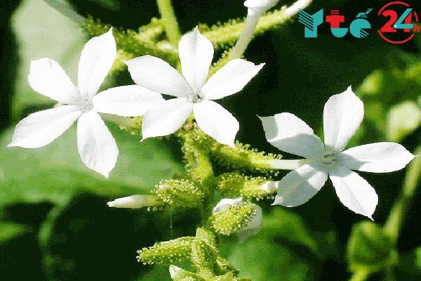 Hình ảnh cây Bạch hoa xà