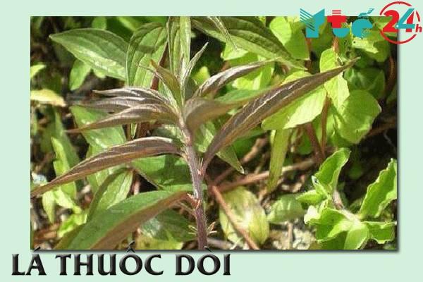 Mô tả cây thuốc dòi