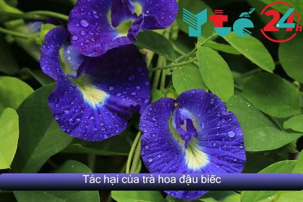 Tác hại của hoa đậu biếc