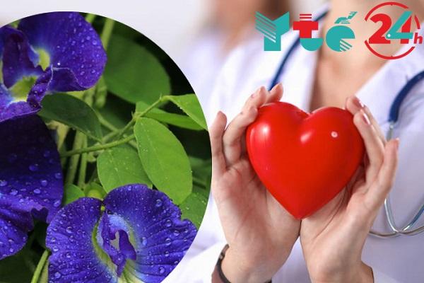 Trà hoa đậu biếc có tác dụng trên tim mạch