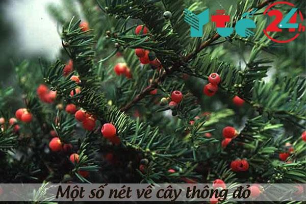 Một số nét về cây thông đỏ