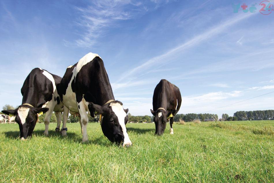 Trang trại nuôi bò lấy sữa non chuẩn Organic tại Mỹ